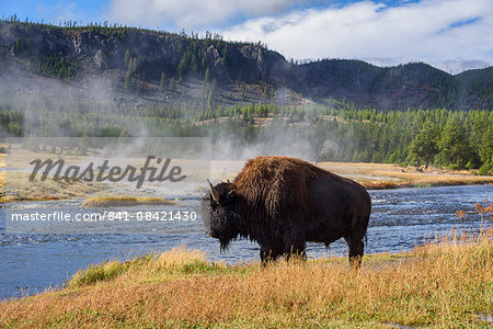 American Bison (Bison bison), Little Firehole River, Yellowstone National Park, UNESCO World Heritage Site, Wyoming, United States of America, North America Stock Photo - Rights-Managed, Image code: 841-08421430