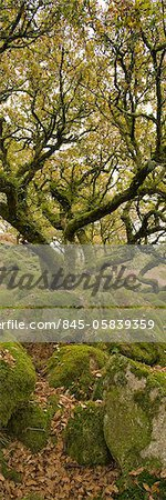 Dartmoor, Wistmans Wood, Stunted Oak Trees, vert pano Stock Photo - Rights-Managed, Image code: 845-05839359