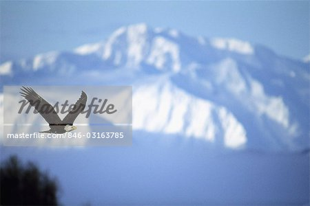 AMERICAN BALD EAGLE IN FLIGHT Stock Photo - Rights-Managed, Image code: 846-03163785