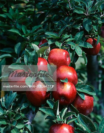 APPLES ON BRANCHES RED DELICIOUS APPLE - MISSOURI