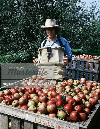 YOUNG MAN HARVESTING JONATHAN APPLES MISSOURI Stock Photo - Rights-Managed, Image code: 846-03164236