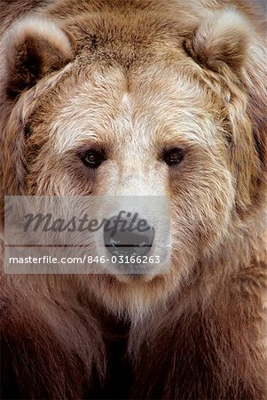 FACE OF BROWN BEAR BLACK BEAR VARIATION Ursus americanus NORTH AMERICA Stock Photo - Rights-Managed, Image code: 846-03166263