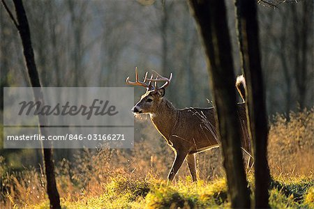 WHITETAIL BUCK, NINE POINT Odocoileus virginianus Stock Photo - Rights-Managed, Image code: 846-03166271