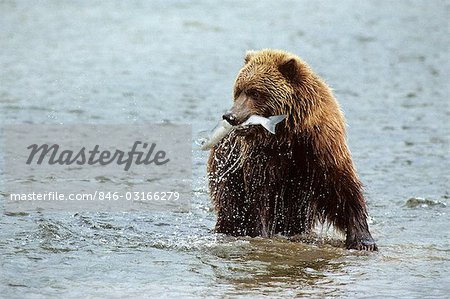 BROWN BEAR IN RIVER WITH SALMON IN MOUTH McNEIL RIVER STATE GAME SANCTUARY, AK Ursus arctos horribilis Stock Photo - Rights-Managed, Image code: 846-03166279
