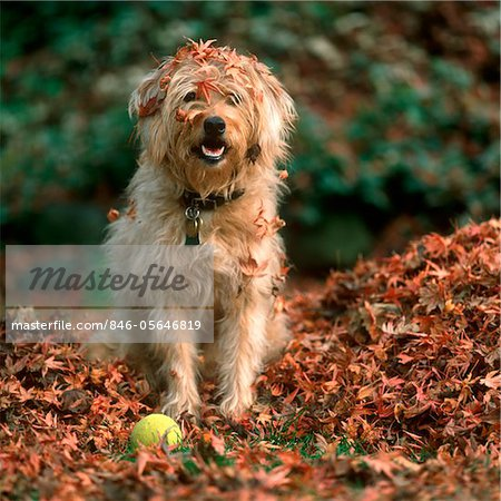 1980s SHAGGY BEIGE AND WHITE DOG Stock Photo - Rights-Managed, Image code: 846-05646819