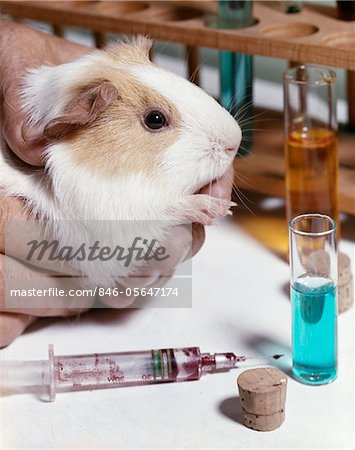 1960s HANDS HOLDING GUINEA PIG HEAD NEAR SYRINGE TEST TUBES Stock Photo - Rights-Managed, Image code: 846-05647174