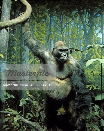 STUFFED SPECIMEN OF MOUNTAIN GORILLA Gorilla beringei beringei IN DIORAMA DISPLAY NATURAL HISTORY MUSEUM TAXIDERMY ENDANGERED SPECIES GREAT APE Stock Photo - Rights-Managed, Image code: 846-05647611