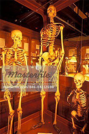 PHILADELPHIA PA NORMAL GIANT AND DWARF HUMAN SKELETONS ON DISPLAY AT THE MUTTER MUSEUM Stock Photo - Rights-Managed, Image code: 846-06112096