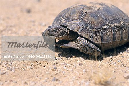 DESERT TORTOISE ENDANGERED EAST MOHAVE NATIONAL SCENIC AREA CA Stock Photo - Rights-Managed, Image code: 846-06112130