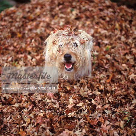 DOG COVERED IN LEAVES UP TO HIS HEAD Stock Photo - Rights-Managed, Image code: 846-07200091