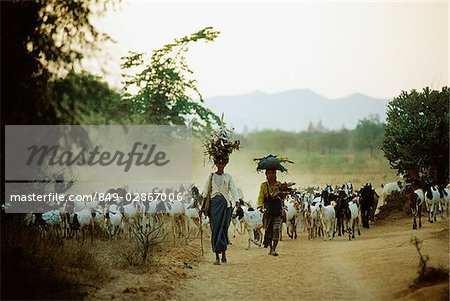 Myanmar (Burma), Bagan, Local women leading herd of goats. Stock Photo - Rights-Managed, Image code: 849-02867006