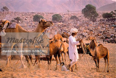 India, Rajasthan, Pushkar, A man prepares for night by tethering his camels. Stock Photo - Rights-Managed, Image code: 849-02867201