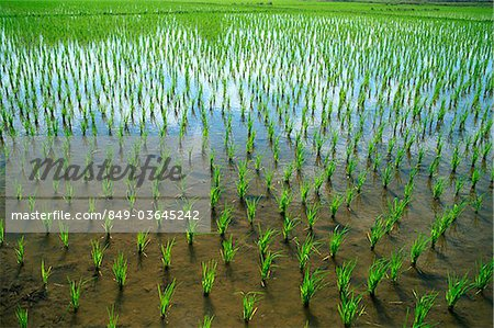 Thailand,Chiang Mai,Rice Paddy Fields Stock Photo - Rights-Managed, Image code: 849-03645242