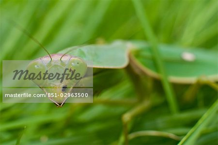Praying mantis in grass,Khong Chiam district,Isan,Thailand