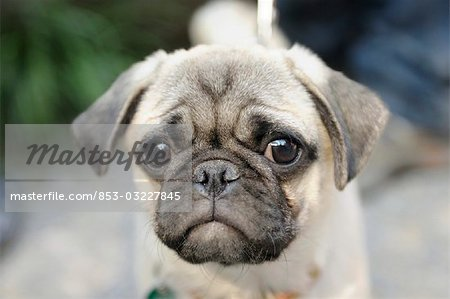 pug, portrait Stock Photo - Rights-Managed, Image code: 853-03227845