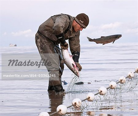 Commercial gillnet fisherman picks sockeye from a net on the Naknek North Shore, Bristol Bay, Alaska/n Stock Photo - Rights-Managed, Image code: 854-03362245