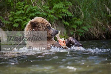 View of a Brown bear eating a salmon carcass from a tangled fishing line in the Russian River, Kenai Peninsula, Southcentral, Alaska, Chugach National Forest, Kenai National Wildlife Refuge, Summer Stock Photo - Rights-Managed, Image code: 854-03645949