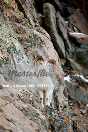 A curious full-curled Dall Sheep ram perches on a rocky ledge at mile 107 of the Seward Highway near Windy Corner, Chugach State Park, Southcentral Alaska, Autumn Stock Photo - Rights-Managed, Image code: 854-03646011