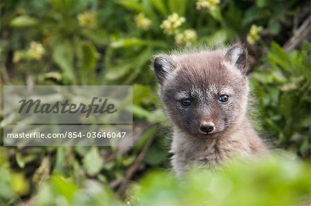 Close up of an Arctic Fox  pup peeking out from its den, Saint Paul Island, Pribilof Islands, Bering Sea, Southwestern Alaska, Summer Stock Photo - Rights-Managed, Image code: 854-03646047