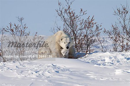 A 12- 14 week old Polar Bear (Ursus maritimus) cub huddles beneath its mothers front legs for protection and shelter, Wapusk National Park, Manitoba, Canada, Winter Stock Photo - Rights-Managed, Image code: 854-03646136