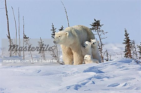 A Polar Bear sow (Ursus maritimus) beds down for a rest with her triplet cubs , Wapusk National Park, Manitoba, Canada, Winter Stock Photo - Rights-Managed, Image code: 854-03646139