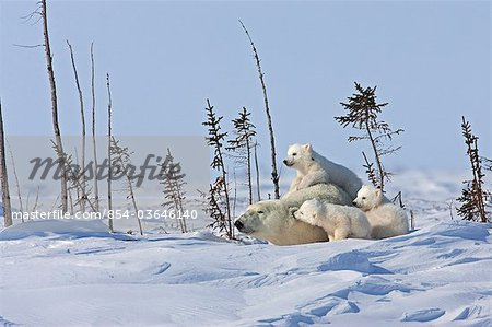 A Polar Bear sow (Ursus maritimus) beds down for a rest with her triplet cubs , Wapusk National Park, Manitoba, Canada, Winter Stock Photo - Rights-Managed, Image code: 854-03646140