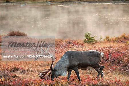 Bull caribou browses amidst the Autumn tundra on the north side of Wonder Lake in Denali National Park & Preserve, Interior Alaska, Fall Stock Photo - Rights-Managed, Image code: 854-03739629