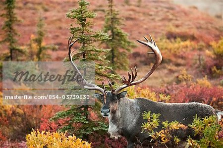 Bull caribou stands amidst the Autumn tundra on the north side of Wonder Lake in Denali National Park & Preserve, Interior Alaska, Fall Stock Photo - Rights-Managed, Image code: 854-03739630