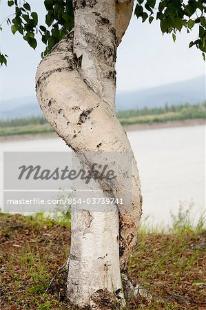 A birch tree wraps around another birch outside of the historical Slaven's Roadhouse along the the Yukon River, Yukon-Charley Rivers National Preserve,  Interior Alaska, Summer Stock Photo - Rights-Managed, Image code: 854-03739741