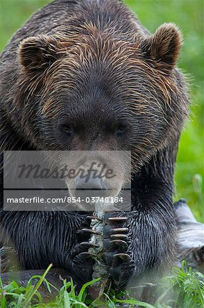 Portrait of a Brown Bear holding a chunk of salmon at the Alaska Wildlife Conservation Center, Southcentral Alaska, Summer. Captive Stock Photo - Rights-Managed, Image code: 854-03740184