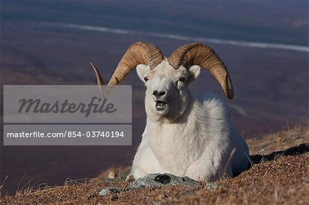 Close up of a ram Dall Sheep laying on a hillside in Denali National Park and Preserve, Interior Alaska, Spring Stock Photo - Rights-Managed, Image code: 854-03740194