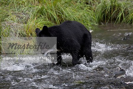 An adult Black bear grabs a Pink Salmon from a stream by Allison Point Campground in Valdez, Southcentral Alaska, Summer Stock Photo - Rights-Managed, Image code: 854-03740209