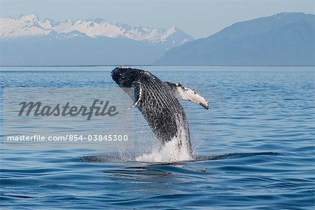 Humpback Whale breaching in Frederick Sound, Inside Passage, Southeast Alaska, Summer Stock Photo - Rights-Managed, Image code: 854-03845300