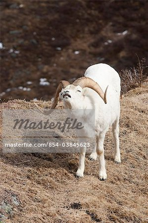 Dall Sheep ram opens mouth to expose teeth to test the scent of nearby females during the Fall rut, Denali National Park and Preserve, Interior Alaska, Spring Stock Photo - Rights-Managed, Image code: 854-03845623