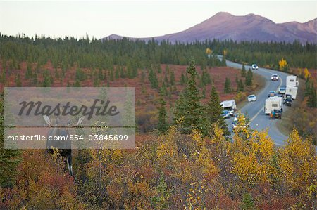 An adult bull moose walks amongst the Autumn colored brush in Denali National Park and Preserve while cars and campers take pictures from the Park Road, Interior Alaska, Fall Stock Photo - Rights-Managed, Image code: 854-03845699