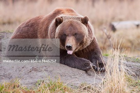 A Grizzly bear lays on a dirt mound at Alaska Wildlife Conservation Center with its tongue hanging out, Southcentral Alaska, Autumn. CAPTIVE Stock Photo - Rights-Managed, Image code: 854-03845752