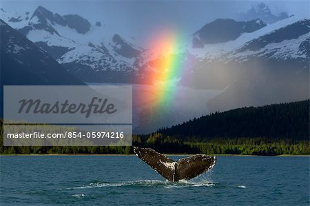 COMPOSITE: Bright rainbow appears over Eagle Beach after a rain shower with a fluking Humpback Whale in the foreground, Inside Passage, Southeast Alaska, Summer Stock Photo - Rights-Managed, Image code: 854-05974216