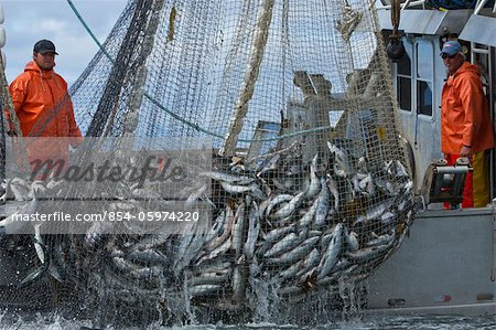 Close up of commercial purse seine fishermen hauling in a full net of pink and chum salmon, Chatham Strait near Admiralty Island, Southeast Alaska, Summer Stock Photo - Rights-Managed, Image code: 854-05974220
