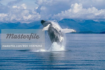 View of a Humpback whale breaching in Frederick Sound, Tongass National Forest, Southeast Alaska, Summer Stock Photo - Rights-Managed, Image code: 854-05974242