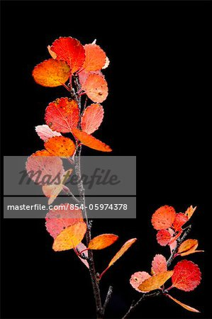 Close up of red &orange leaves and branch from a dwarf Birch against a black background, Maclaren River valley, Denali Highway, Interior Alaska, Autumn Stock Photo - Rights-Managed, Image code: 854-05974378