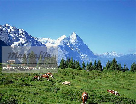 Cows in alpine meadow with Eiger mountains beyond, Grindelwald, Bern (Berne), Bernese Oberland, Swiss Alps, Switzerland Stock Photo - Rights-Managed, Image code: 855-03254863