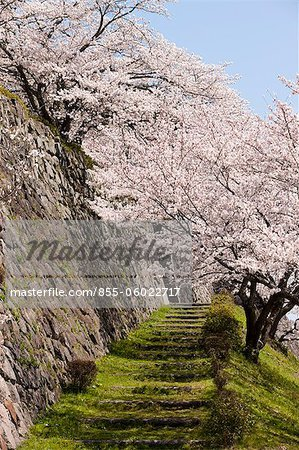 Cherry blossom at ancient castle of Sasayama, Hyogo Prefecture, Japan Stock Photo - Rights-Managed, Image code: 855-06022717