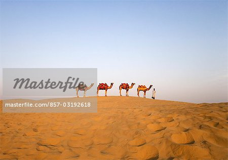 Four camels standing in a row with a man, Jaisalmer, Rajasthan, India Stock Photo - Rights-Managed, Image code: 857-03192618