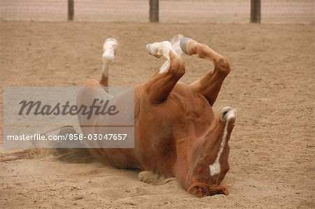Horse on the Ground Stock Photo - Rights-Managed, Image code: 858-03047657