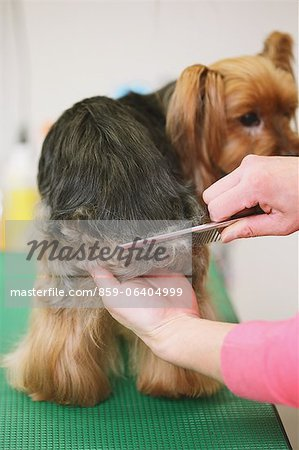 Yorkshire terrier getting groomed Stock Photo - Rights-Managed, Image code: 859-06404999