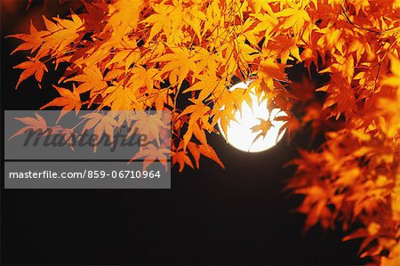 Red maple leaves and full moon Stock Photo - Rights-Managed, Image code: 859-06710964