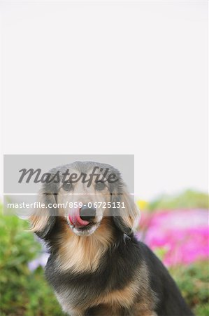 Dachshund looking at camera Stock Photo - Rights-Managed, Image code: 859-06725131