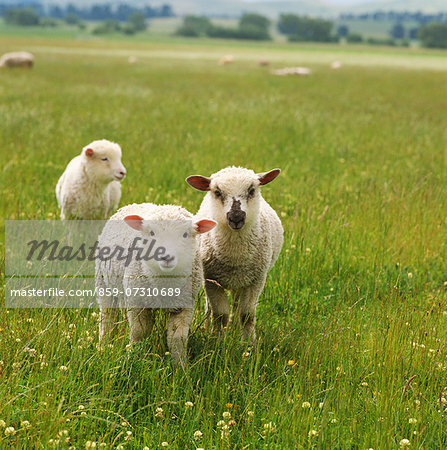 Sheep Stock Photo - Rights-Managed, Image code: 859-07310689