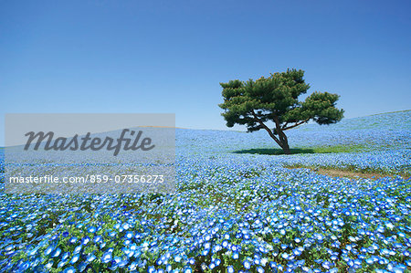 Baby blue-eyes field Stock Photo - Rights-Managed, Image code: 859-07356273