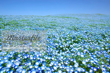 Baby blue-eyes field Stock Photo - Rights-Managed, Image code: 859-07356274